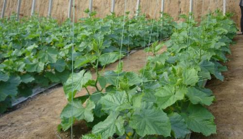 地下槽式栽培基质