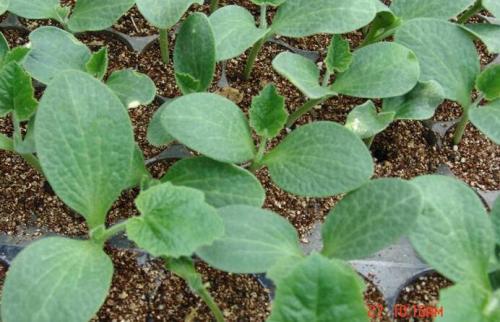 南瓜育苗基质